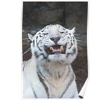 WHITE TIGER SMILING Poster