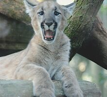 BABY PANTHER YAWNING by Claude Desrochers