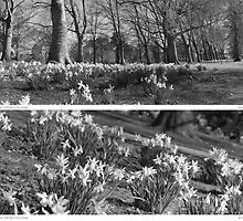 Riverside Daffodils in Bedford by Edward Birchall