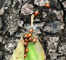 Yosemite Ladybugs in Leaf by EarthAnime