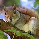 Grey Squirrel by Lucy Hollis
