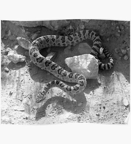 Diamond Back Rattlesnake Poster