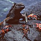 Marine Iguana and Sally Lighfoot Crabs by Doug Thost