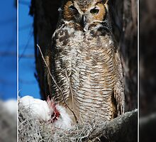 GREAT HORNED OWL WITH PREY by Claude Desrochers