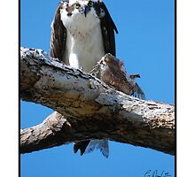 OSPREY WITH CARPE (FISH) by Claude Desrochers