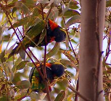 2 Rainbow Lorikeets having a feast  by lettie1957