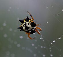 Jewel Spider 1 by Mark Snelson