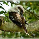 Preening Kookaburra by Gayle Shaw