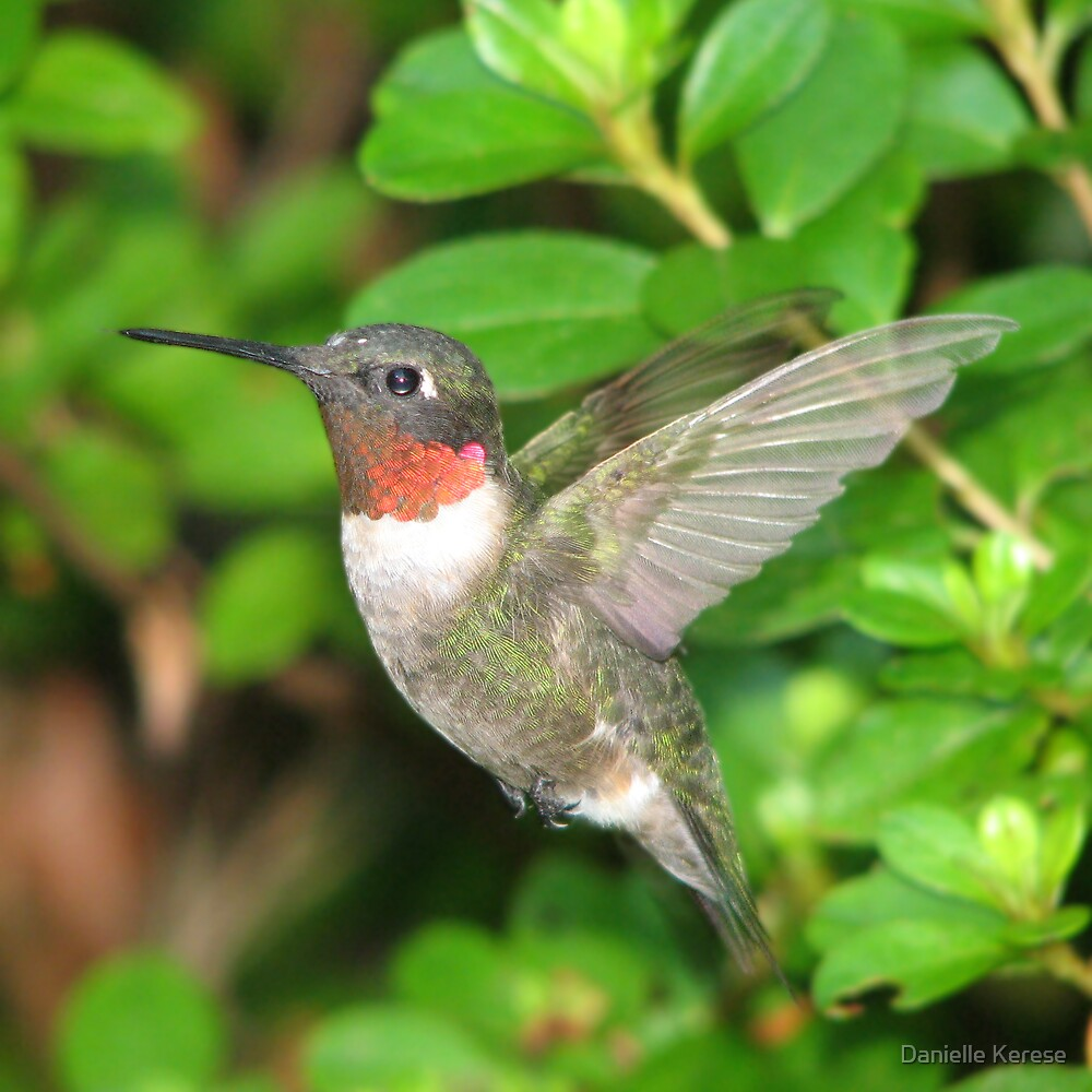 Hovering Hummingbird by Danielle Kerese
