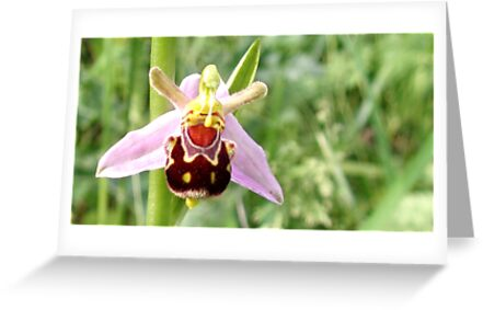 Wild Bee Orchid by James Stevens