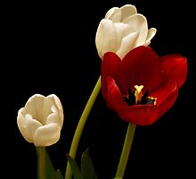 Tulips by Swede