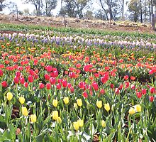 Tulip field at Montrose, Victoria by Michelle Spencer