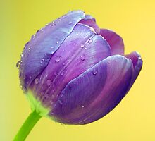 Purple Tulip by ~ Fir Mamat ~