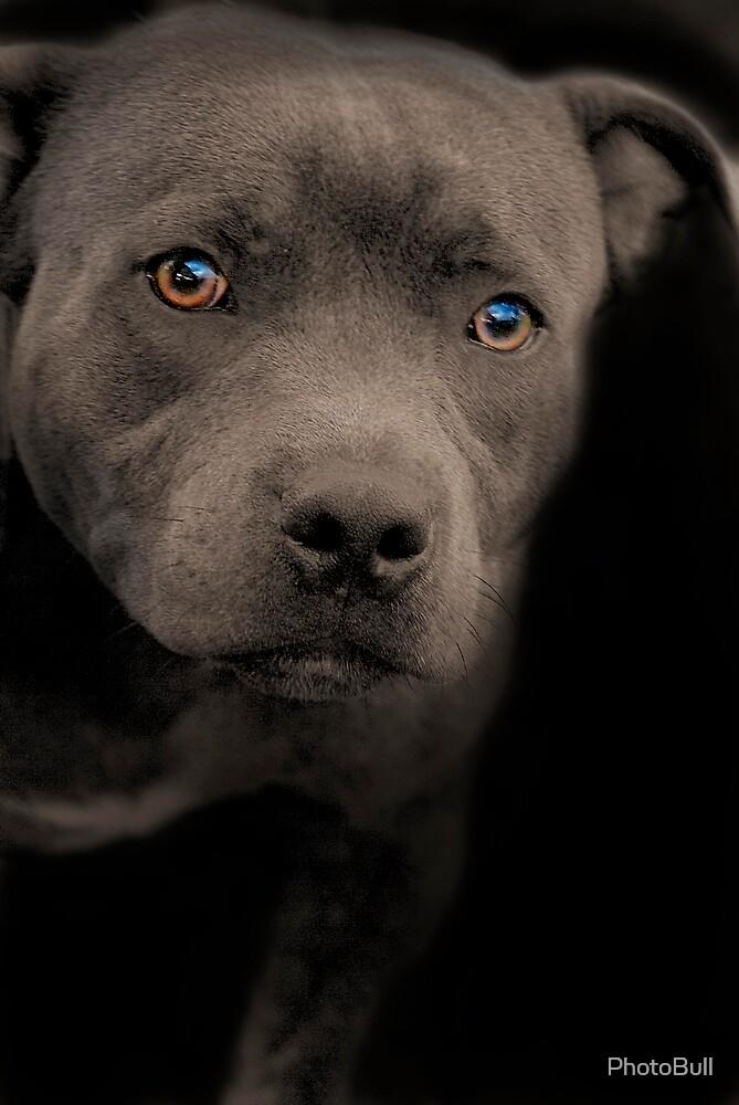 Blue Staffordshire Bull Terrier by PhotoBull