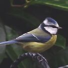 Keeping a beady eye on things....Blue tit by Rivendell7