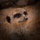 Portrait of a Meerkat by Ben Shaw