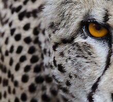 Acinonyx jubatus by Mark Wilson
