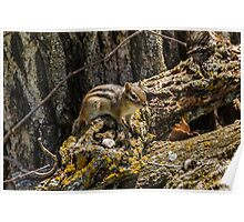Spring Chipmunk on wood pile Poster