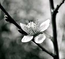 Blooming White Light by Jen Waltmon