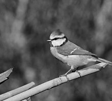 Re series published since the first time too bright ... !! 2 (n&b)(t) Birds  (c)(h) by Olao-Olavia / Okaio Créations fz 1000 by okaio caillaud olivier
