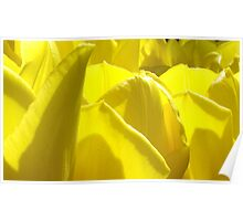 tulips yellow Poster