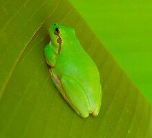 Green frog by bishopsmead