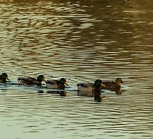 Getting Your Ducks In A Row by AgapeMn