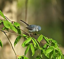 Blue-gray Gnatcatcher by Sandy Keeton