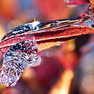 Backyard Icicle(15) by robkal