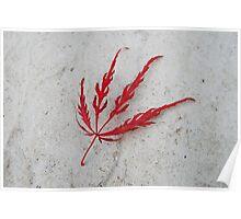Red acer leaf Poster
