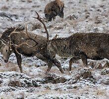 Stags Rutting in the Snow by derekbeattie