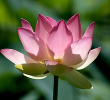 Sacred Lotus by Leeo