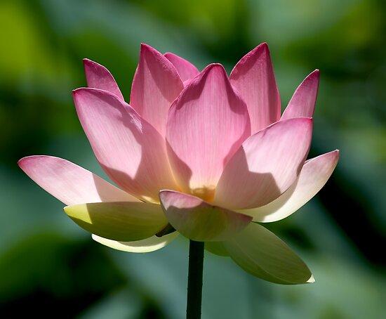 Sacred Lotus by Leeo