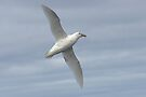 Southern Giant Petrel (White Morph) ~ On the Breeze by Robert Elliott