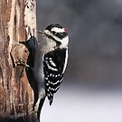 Male Downy Woodpecker by Gregg Williams