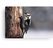 Male Downy Woodpecker Metal Print