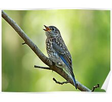 Little Chirping Bluebird Poster