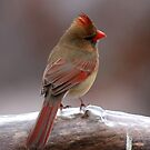 Cardinal in the cold by Gregg Williams