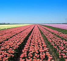 Tulips.. Tulips.. Tulips.. by ienemien