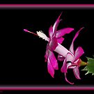 Pink Christmas Cactus  by Cheri Perry