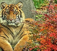 Tiger in Autumn by Karen Fahey