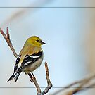 Goldfinch by Bonnie T.  Barry