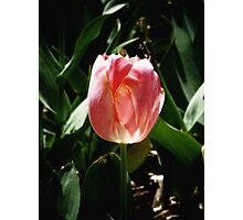 sunkissed tulip Photographic Print