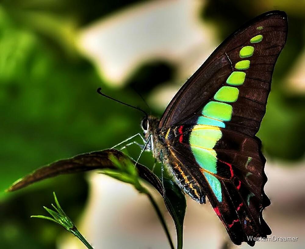 ~ A Butterfly Is Born ~ by WesternDreamer