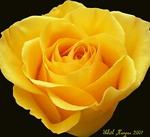 Yellow Rose by Edith Kangas