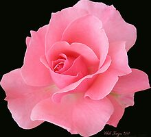 Pink Rose by Edith Kangas
