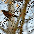 Turdus Migratorius | American Robin - Quogue, New York  by © Sophie W. Smith