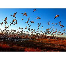 Fright Flight of the Snow Geese Photographic Print