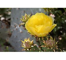 Yellow Cactus Bloom and Buds Photographic Print