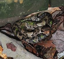 Juvenile Cottonmouth by Cynthia Pulsifer Photography